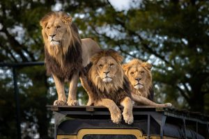 Lions in the wild in Africa