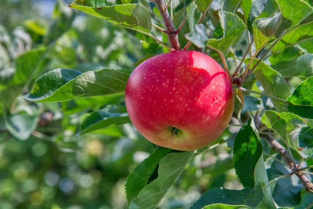 An apple in a tree used for making weight loss food apple cider vinegar.